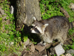 raccoons get into your food.