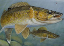 Courtesy of the Minnesota DNR  Stephen Hamrick of Lakeville won the 2015 walleye stamp contest sponsored by the Minnesota Department of Natural Resources.